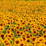 Sunflowers, Sunflowers, and more Sunflowers
